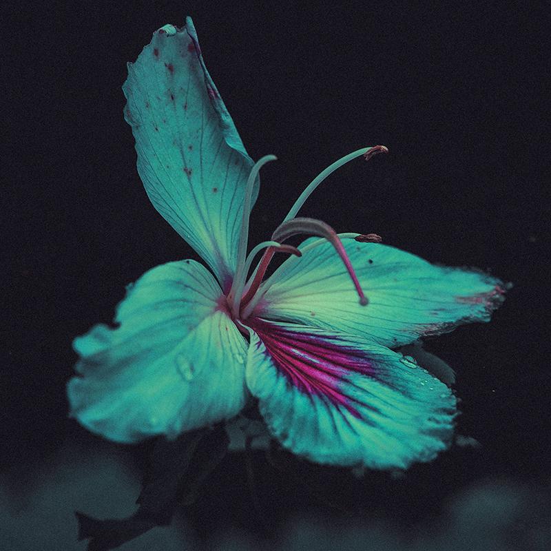 turquoise hibiscus flower