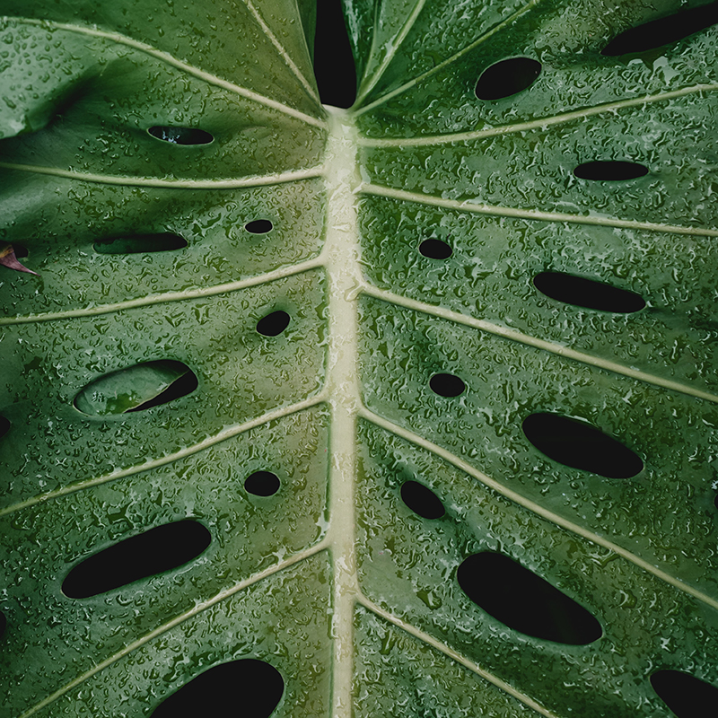Big scaled green leaf with water drops